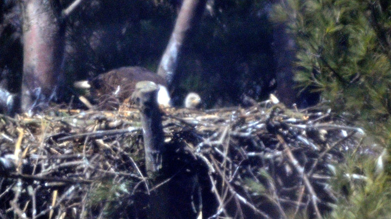 One of two eaglets can be seen in this image of a nest on Cootes Paradise near Hamilton, Ont. (Image supplied by the Royal Botanical Gardens).