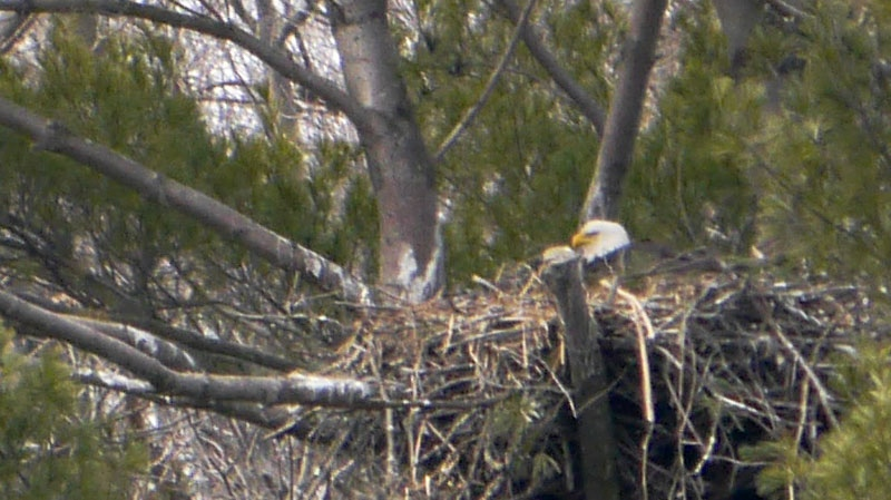 An adult bald eagle can be seen in this image of a nest on Cootes Paradise marsh near Hamilton, Ont. The adult pair is the first to successfully hatch eaglets on the north shore of Lake Ontario since 1955 (Andy Johnson, CTVNews.ca).