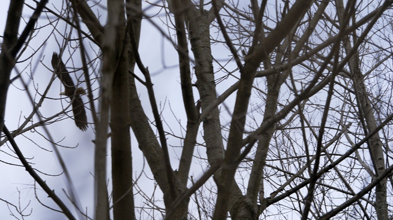 An adult bald eagle can be seen through the trees as it soars over Cootes Paradise marsh near Hamilton, Ont. (Andy Johnson, CTVNews.ca)