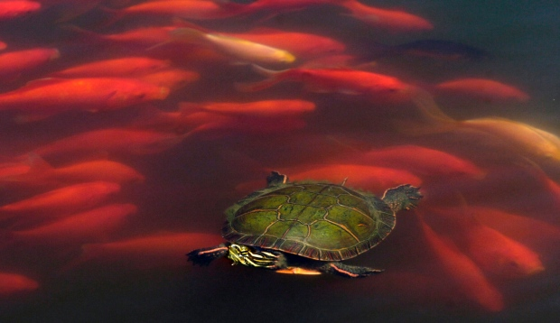 Goldfish swim around a painted turtle