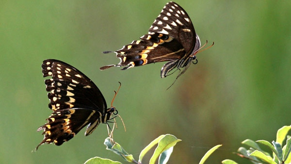 Two palamedes swallowtail butterflies fly among wildflowers, Saturday, Sept. 5, 2009, in Telogia, Fla. (AP Photo/Phil Coale)