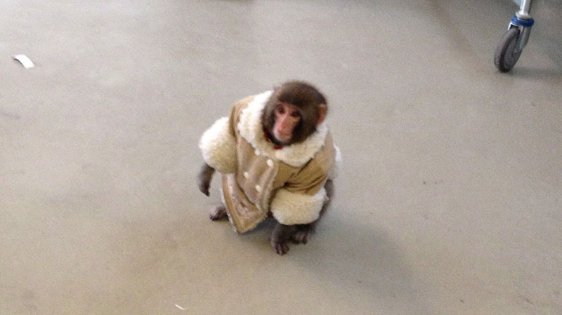 Darwin, a small monkey wearing a winter coat and a diaper is shown in Ikea. (Bronwyn Page)