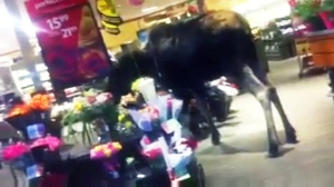 An image from a cellphone video that captured a moose inside a Safeway grocery store in Smithers, British Columbia.