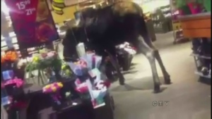 Caught on cam: Moose browses grocery store