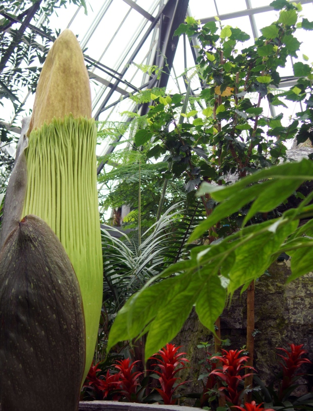 "The ""corpse flower"" at the Muttart Conservatory in Edmonton is shown in a City of Edmonton handout photo. (THE CANADIAN PRESS/HO-City of Edmonton)"