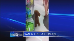 CTV BC: What's Trending: Dog walks like a human