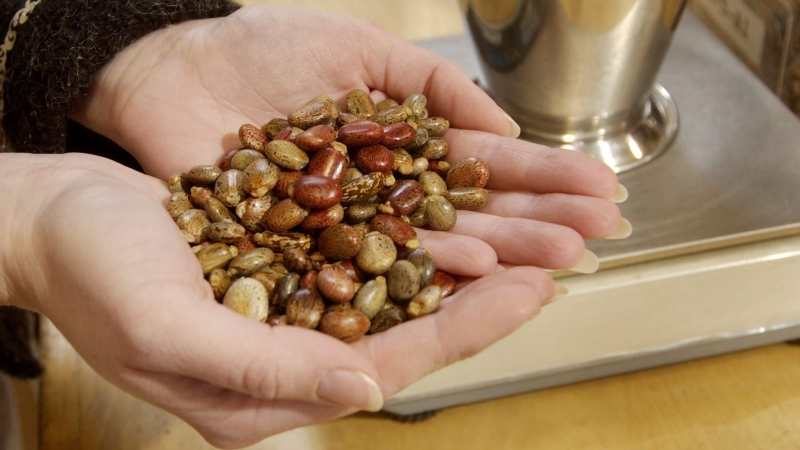 Kristina Damico holds castor seeds at Sheffield's Seed Co. in Locke, N.Y. in this Thursday, April 15, 2004 picture. (AP / Kevin Rivoli)