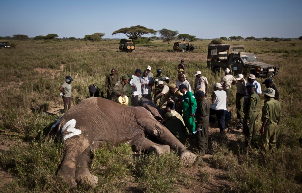 In this Tuesday, Feb. 19, 2013 photo, a team from the Kenya Wildlife Service (KWS) and the International Fund for Animal Welfare (IFAW) fit a GPS-tracking collar onto a tranquilized 26-year-old male elephant, to monitor migration routes and to help prevent poaching, at the Kimana Wildlife Sanctuary next to Amboseli National Park in southern Kenya, near the border with Tanzania. Tanzania, Botswana, the Central African Republic, Chad, Congo and Kenya are suffering from elephant poaching. (AP Photo/Ben Curtis)