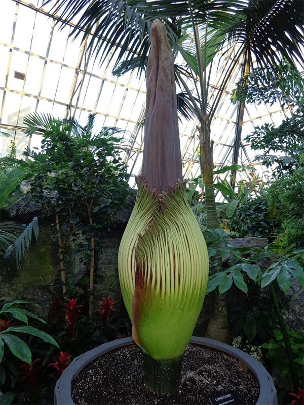 "A photo of Putrella the corpse flower pre-bloom at the Muttart Conservatory. The flower is rare and endangered, and stands at 8'0"" or 243 cm. SUPPLIED."