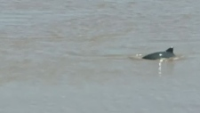 Porpoises in the Petitcodiac River