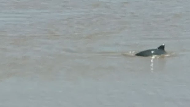A Petitcodiac riverkeeper says the presence of porpoises in the Petitcodiac River points to its recovery.