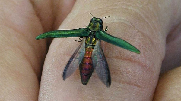 An emerald ash borer beetle is seen in this image courtesy the Canadian Food Inspection Agency (CFIA).