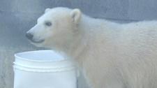 Polar bears returning to zoo