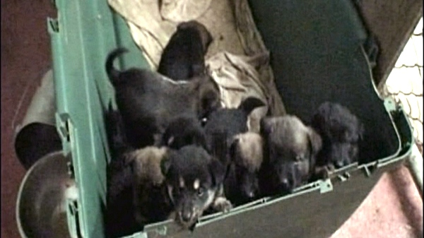 Puppies from Zonda MacIsaac's shelter in Cape Breton, N.S. are shown in this video image.