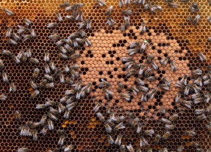 Honey bees sit on a honeycomb in Wezembeek-Oppem near Brussels in this April 2013 file photo. (AP Photo/Yves Logghe)