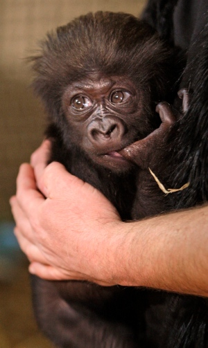 A 3-month-old gorilla named Gladys Stones made her media debut at the Cincinnati Zoo with some of the people who have served as her surrogate mothers. <br><br>Ron Evans, Primate Team Leader of the Cincinnati Zoo, holds 'Gladys', a 2 month-old Western Lowland Gorilla on her back in Cincinnati on Wednesday, March 27, 2013. (The Cincinnati Enquirer / Glenn Hartong)