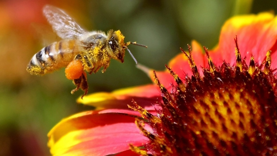A honey bee visits a flower garden in Washington State in this 2012 file photo. (Tri-City Herald/Bob Brawdy)