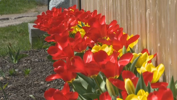 Residents of Tulip Street in Dartmouth, N.S. are proud of their flower-lined boulevards. (CTV Atlantic)