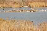 Migrating shorebirds in the marshlands of Tommy Thompson Park, on Toronto's lakefront. (CTV News)
