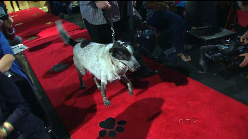 Snickers, a four-year-old border collie-pointer cross from Oshawa, Ont., walks down the red carpet to be inducted into the Purina Animal Hall of Fame, in Toronto, Monday, May 6, 2013.