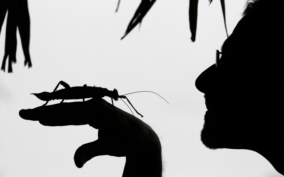 Keeper Dave Clarke is seen in silhouette as he holds a Jungle Nymph stick insect at London Zoo in London, Wednesday, Jan. 4, 2012. (AP Photo/Kirsty Wigglesworth)