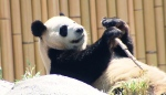 A panda from the Toronto Zoo is seen in this file image.