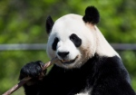 Er Shun and Da Mao, two giant pandas on loan from China, make their big debut at the Toronto Zoo in front of a crowd of eager dignitaries, politicians and media members.<br><br>Da Mao eats bamboo at the Toronto Zoo on Thursday, May 16, 2013. (Nathan Denette / THE CANADIAN PRESS)