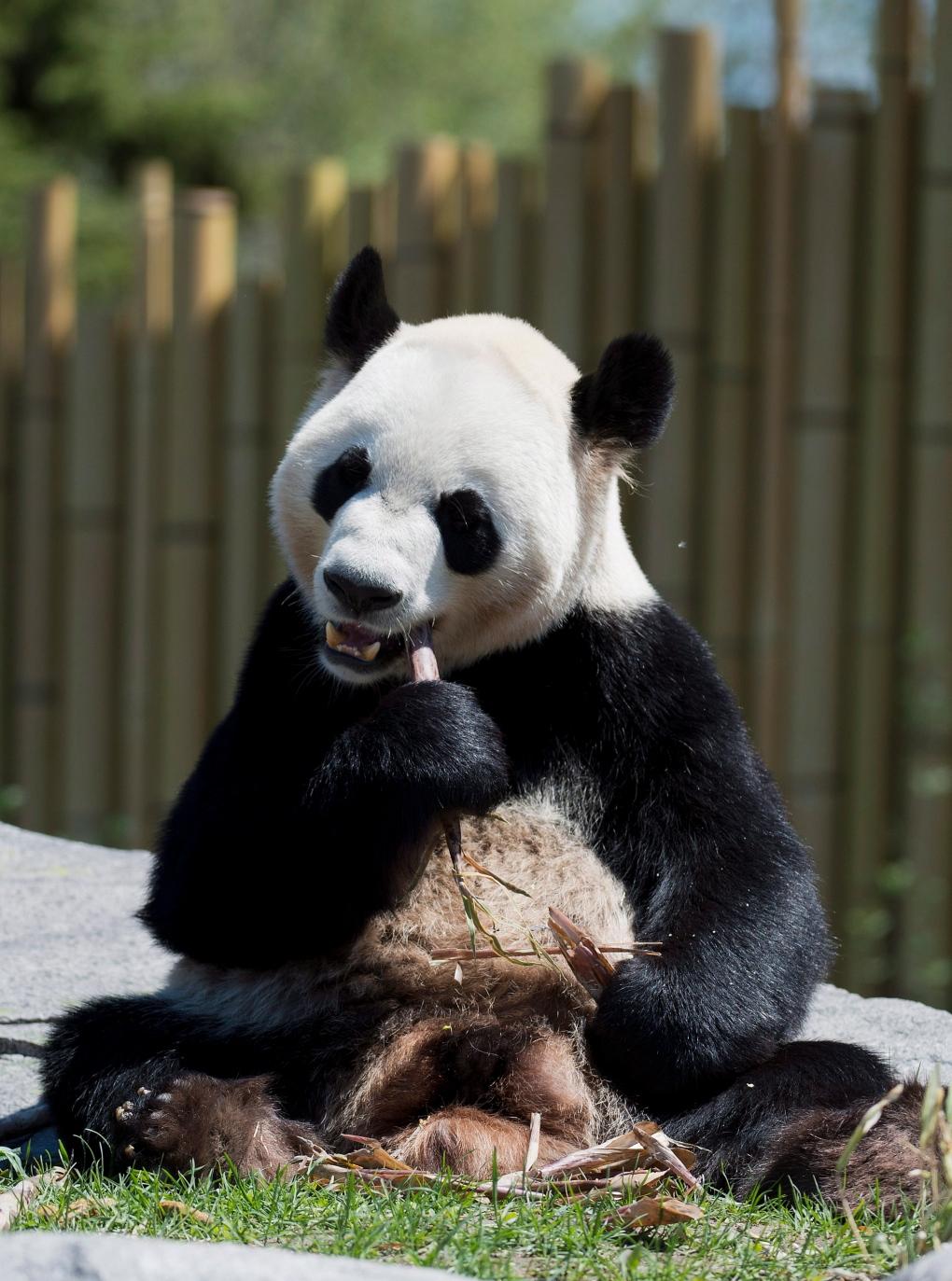 Drake International Toronto >> Chinese Pandas Make Canadian Debut | CTV Toronto News