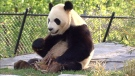 Pandas at Toronto Zoo make debut