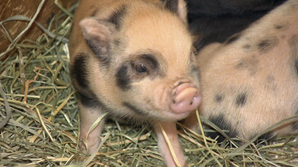 Micro pigs are growing in popularity, in large part due to celebrities like Victoria Beckham and Honey Boo Boo, who both have owned pet micro pigs.