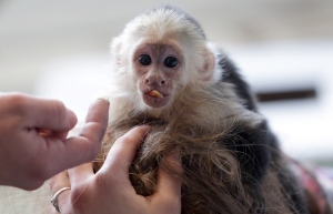 FILE: In this April 2, 2013 file picture, Capuchin monkey 'Mally' sits on the head of an employee in an animal shelter in Munich, Germany. (AP Photo/Matthias Schrader, File)