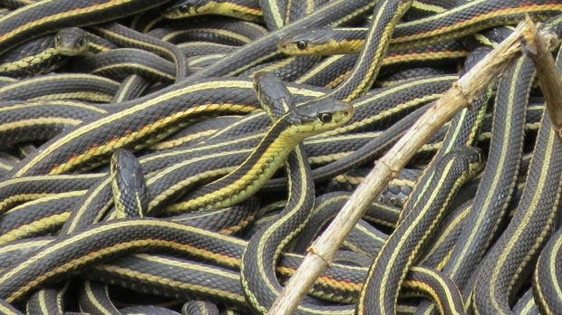 Snakes in Narcisse