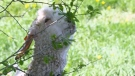 CTV Kitchener: Missing goat found