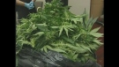 Elgin County OPP display marijuana plants seized during a raid in Central Elgin, Ont. on Thursday, May 23, 2013.
