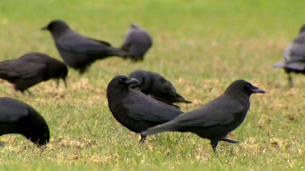 When feathers fly: expert explains why crows attack runners