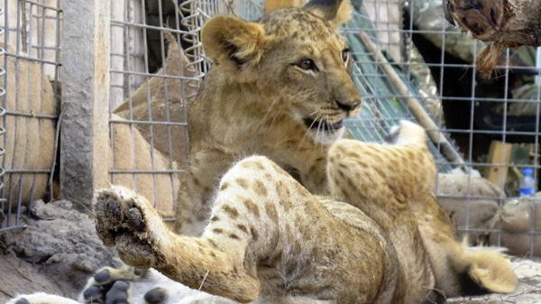 Two orphan lion cubs that where taken in by Bancroft camp in Mogadishu Somalia, Saturday, March 26, 2011. (AP Photo/Edward Parsons)