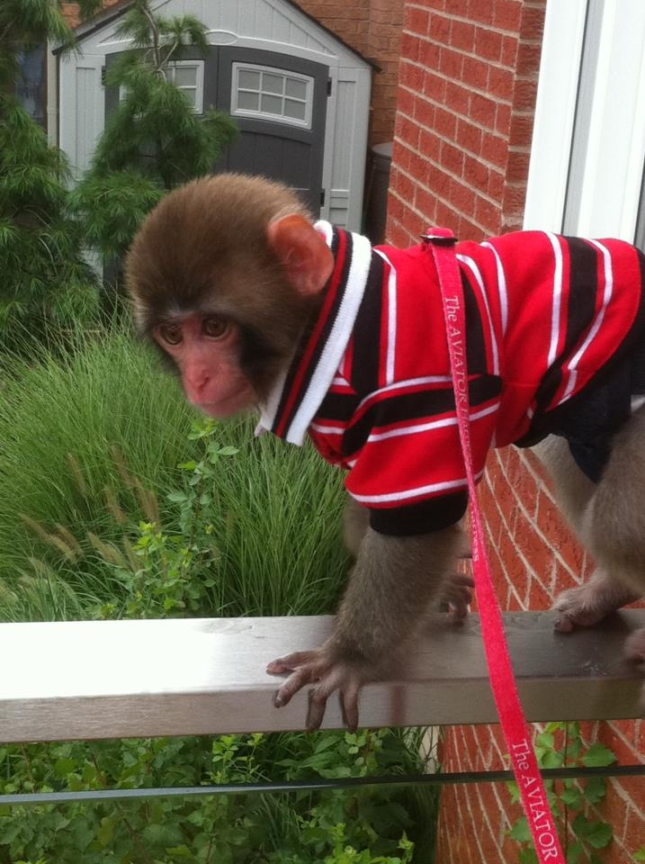 The battle for Darwin, a monkey that garnered international attention after he was spotted in an Ikea parking lot, begins in Oshawa, Ont. on May 30, 2013. The monkey is shown in this image from the Darling Darwin Monkey page on Facebook.