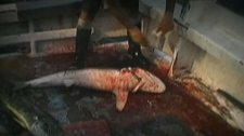 Activists say the process of shark-finning is inhumane, and shark fin soup should be banned. (CTV)