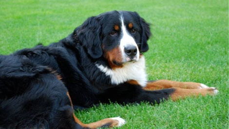 Hurley, an 18-month-old Bernese Mountain Dog, went missing while his owners were vacationing over March break. (CTV)