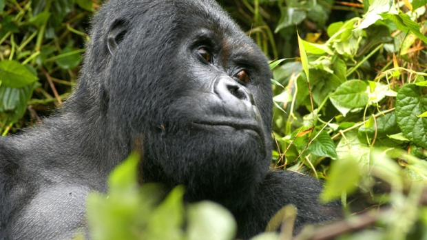 Guhonda, a male adult mountain gorilla, in the Volcanos National Park in Rwanda, Thursday, June 23, 2005. (AP / Riccardo Gangale)