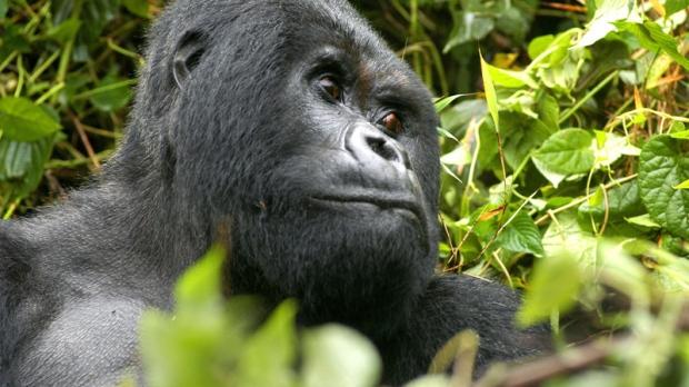 Guhonda, a male adult mountain gorilla, in the Volcanos National Park in Rwanda, Thursday, June 23, 2005. (AP / Riccardo Gangale)