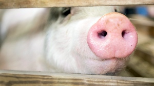 A pig pokes its nose through a fence in Harrisburg, Pa., in this January 2013 file photo. (The Patriot-News/Joe Hermitt)