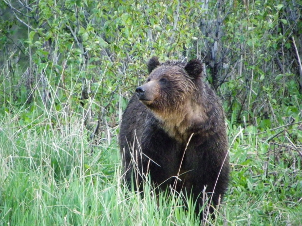 Grizzly bear deaths raise concerns