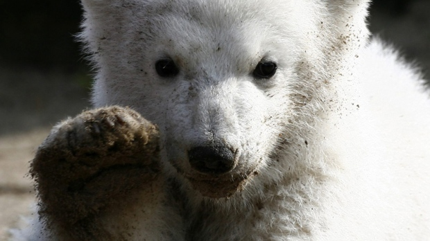 Knut, the polar bear cub, has its first public appearance at the Berlin zoo, March 23, 2007. (AP / Herbert Knosowski)