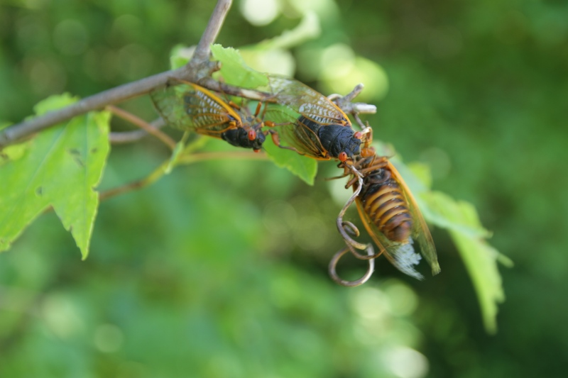 After 17 years, these cicada bugs have emerged from the ground. The male mating call can hit 90 decibels -- about as loud as a rock concert, or a jet engine going by. (Jonathan Austin/CTV News)