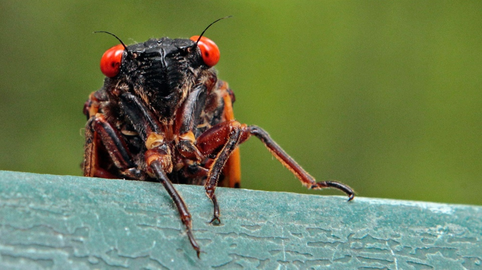 A 13-year cicada peers over a ledge in Chapel Hill, N.C., Wednesday, May 11, 2011. (AP / Gerry Broome)