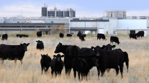Cattle in pasture beside XL Foods' Lakeside Packers plant at Brooks, Alta. on Monday, Oct. 1, 2012. (Larry MacDougal / THE CANADIAN PRESS)