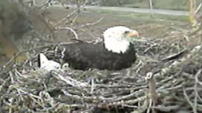 A bald eagle guards two eggs on a nest in Delta. April 5, 2011. (Hancock Wildlife Foundation)