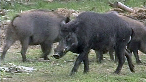 The boars are raised domestically, but some have escaped, and are attacking cattle.