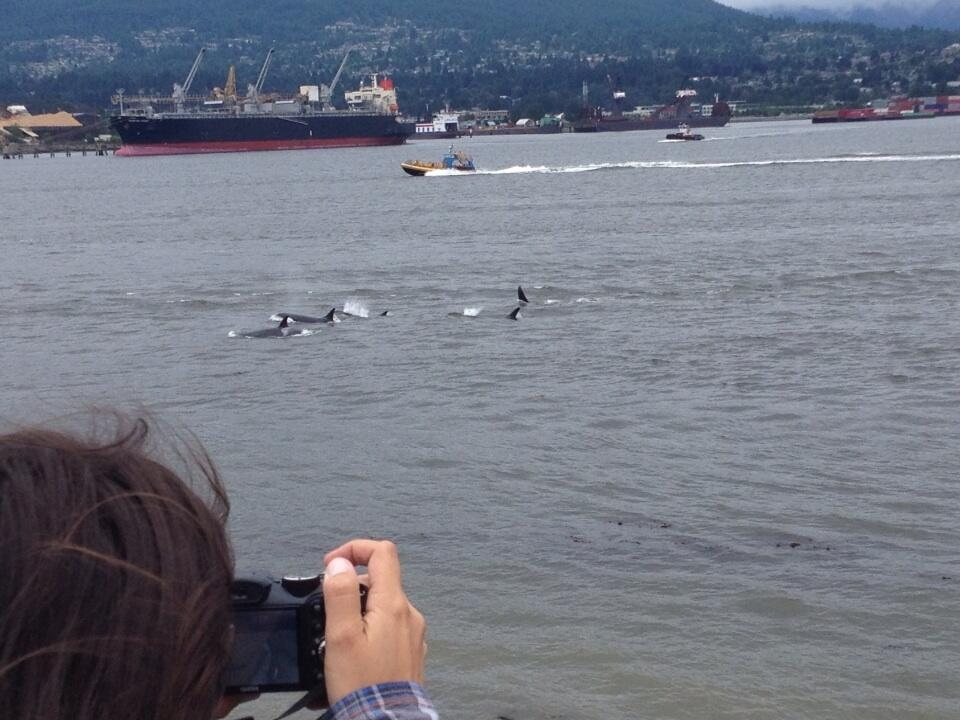 A pod of orca whales is seen cruising through the Burrard Inlet in Vancouver Friday. A wildlife experts says the group of eight animals -- also known as killer whales -- was likely in search of food. (CTV)